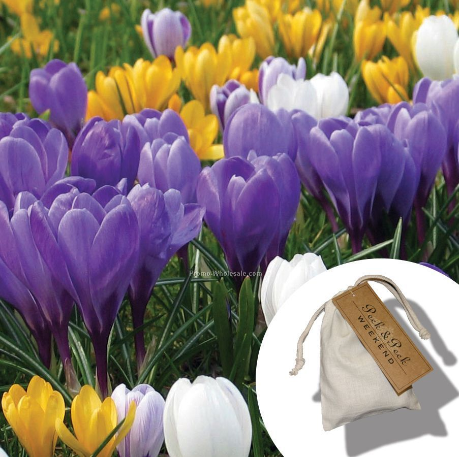 five dutch crocus bulbs in a natural cotton bag 3 x4