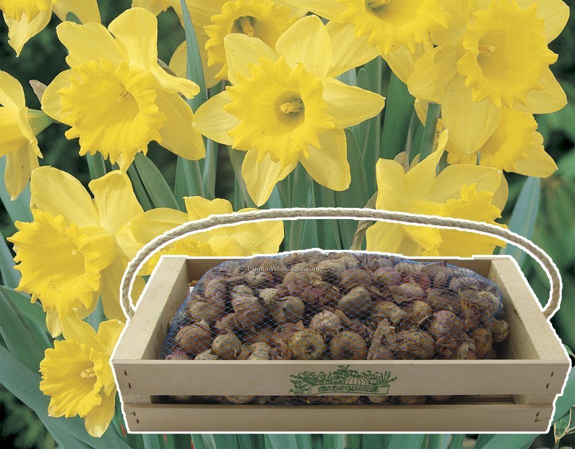 One Hundred Dutch Daffodil Bulbs In A Mini Crate With