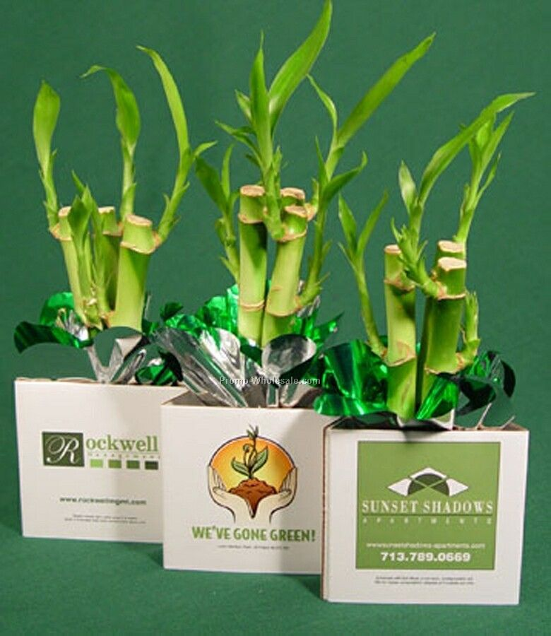 Live Greeting Model Live Cycle 3 Stalks Lucky Bamboo W/ Container