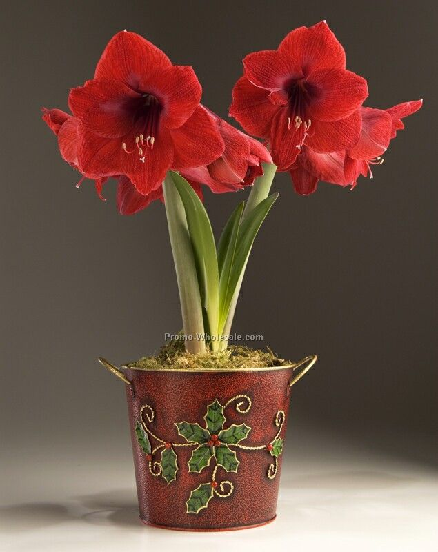 Amaryllis Bulb In A Red Metal Planter With Holly Leaf And Gold Accents