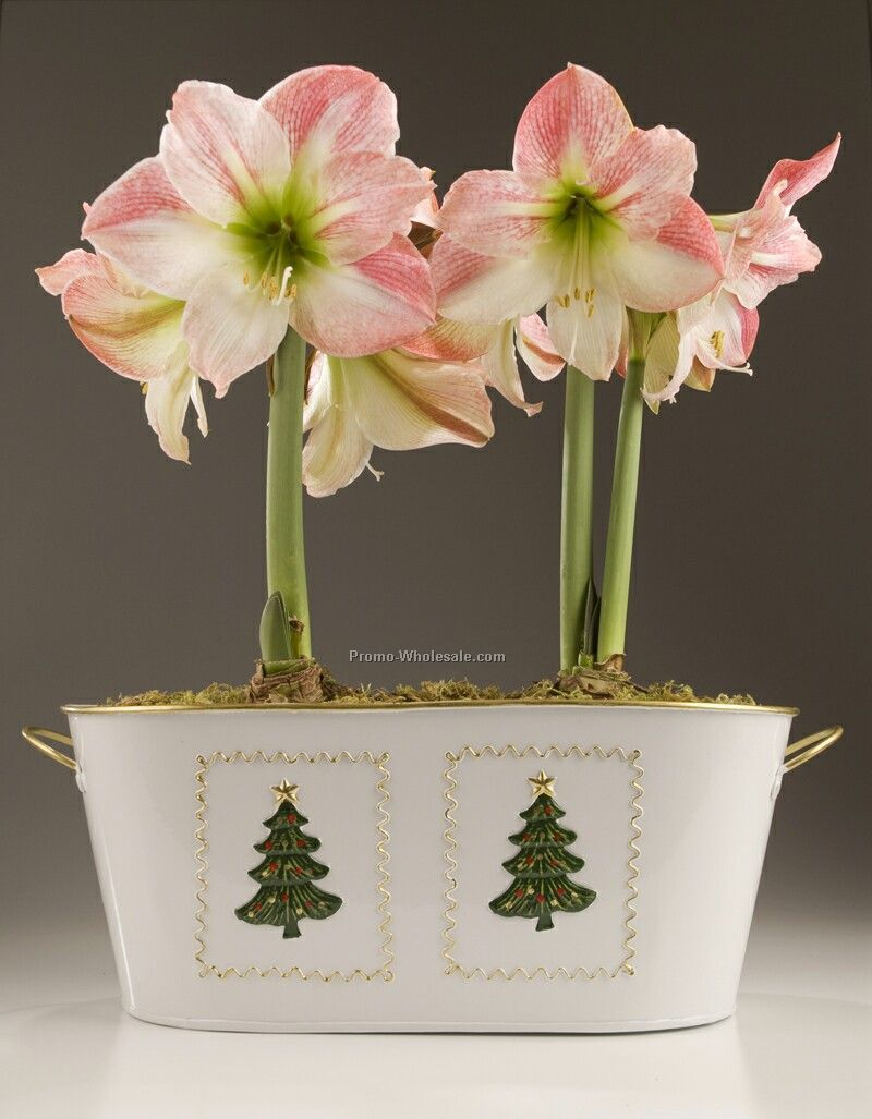 Amaryllis Bulbs (2) In A White Metal Planter With Christmas Tree Accents