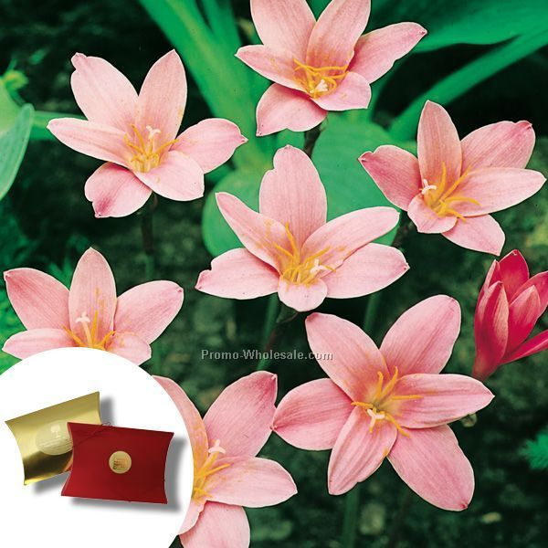 Five (5) Fairy Lily Bulbs In A Kraft Pillow Box And 4-color Label
