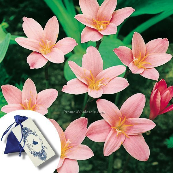 Five (5) Fairy Lily Bulbs In A Satin Bag With 4-color Tag